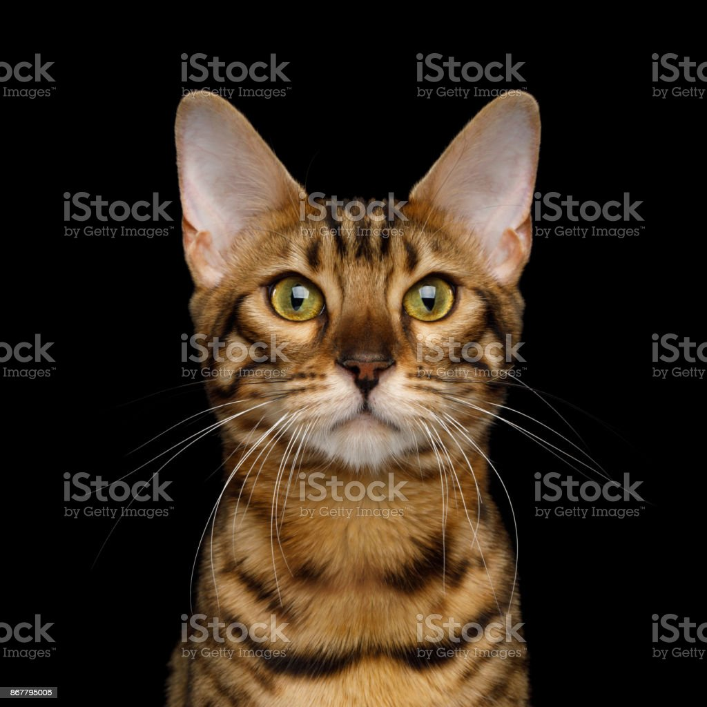 Adorable breed Bengal Cat isolated on Black Background stock photo