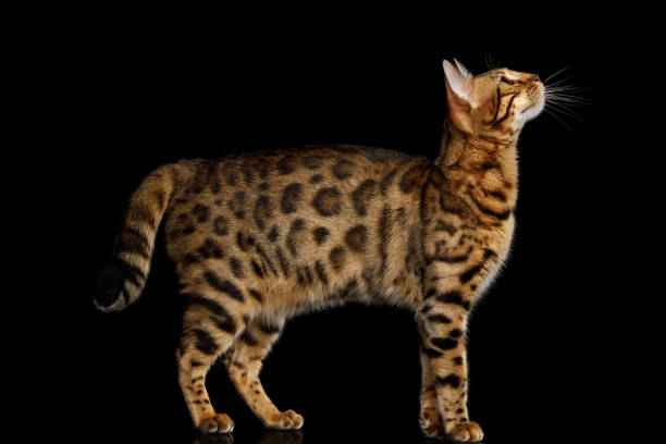 Adorable breed bengal cat isolated on black background picture id867795188?b=1&k=6&m=867795188&s=612x612&w=0&h=7p jud paytdva7z xdcik4wlxvz44mt  sppq1c7du=
