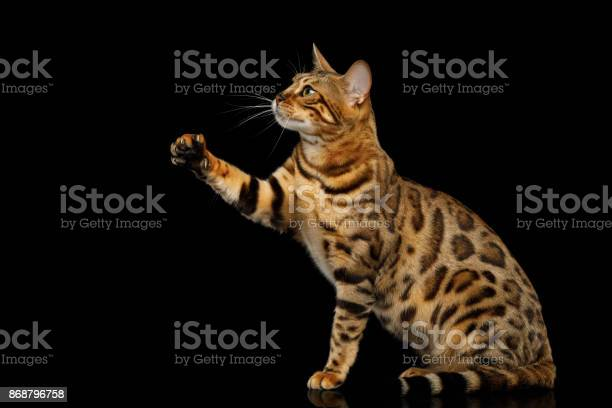 Adorable breed bengal cat isolated on black background picture id868796758?b=1&k=6&m=868796758&s=612x612&h=7dqh89cscrszblzoynh37ylyfxgqvasdg4k08fhseuw=