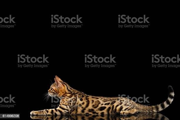 Adorable breed bengal kitten isolated on black background picture id614996208?b=1&k=6&m=614996208&s=612x612&h=2wcqccgnx9e dpwkeyndj7gox3wvfmf3uwq8onsqnlo=