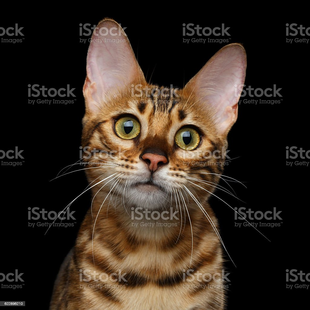Adorable breed Bengal kitten isolated on Black Background stock photo