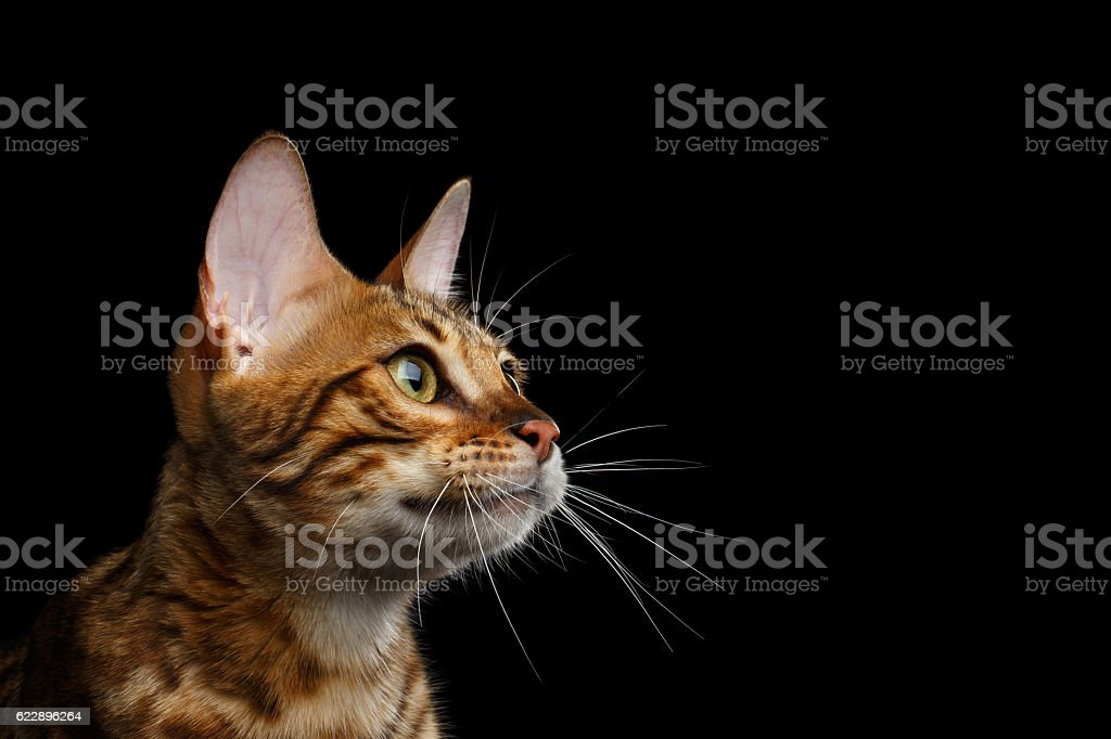 Adorable breed Bengal kitten isolated on Black Background - foto de acervo