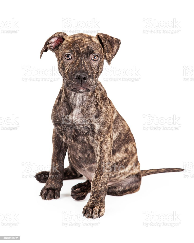 Adorable Brindle Large Breed Puppy Dog stock photo