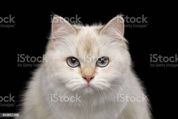 Adorable british cat with blue eyes on isolated black background picture id943852456?b=1&k=6&m=943852456&s=612x612&h=grpqe8oiol7dg q2humcb3tfizq h 1ayjxukb0opdq=