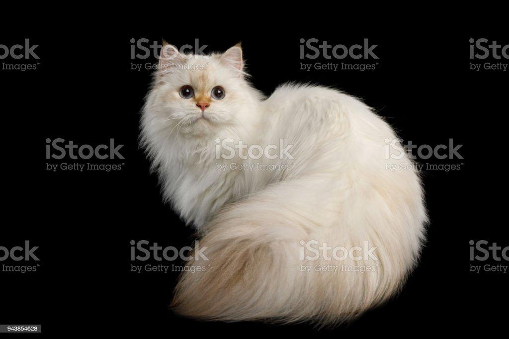 Adorável gato britânico com olhos azuis em isolado fundo preto - foto de acervo