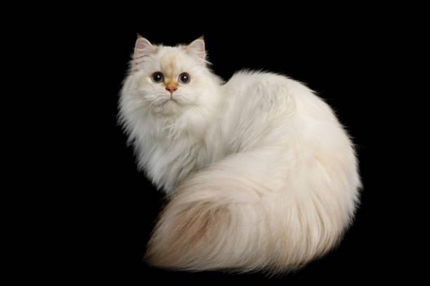 Adorable British Cat with Blue eyes on Isolated Black Background stock photo