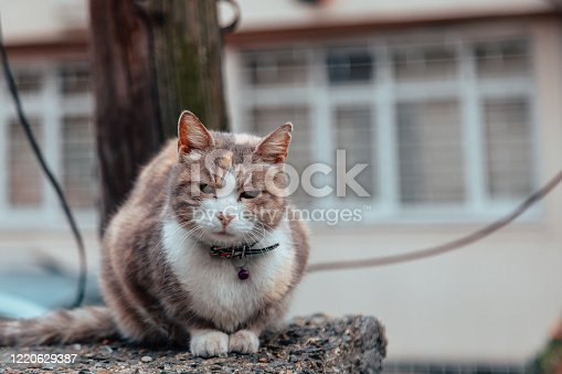 Portrait of a three colour domestic cat with pet collar sitting on the wall outdoor