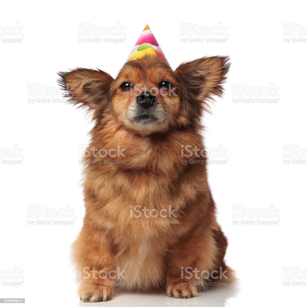 Entzuckende Braun Metis Hund Mit Bunten Luftballons Geburtstag Kappe