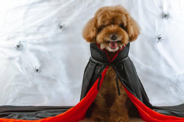 entzückende braun pudel hund machte beängstigend gesicht mit dracula kleid sitzen auf spinnen spinnweb hintergrund. - hund spinnenkostüm stock-fotos und bilder