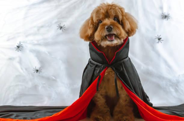 entzückende braun pudel hund mit dracula kleid sitzt an spinnen spinnweb hintergrund. - hund spinnenkostüm stock-fotos und bilder
