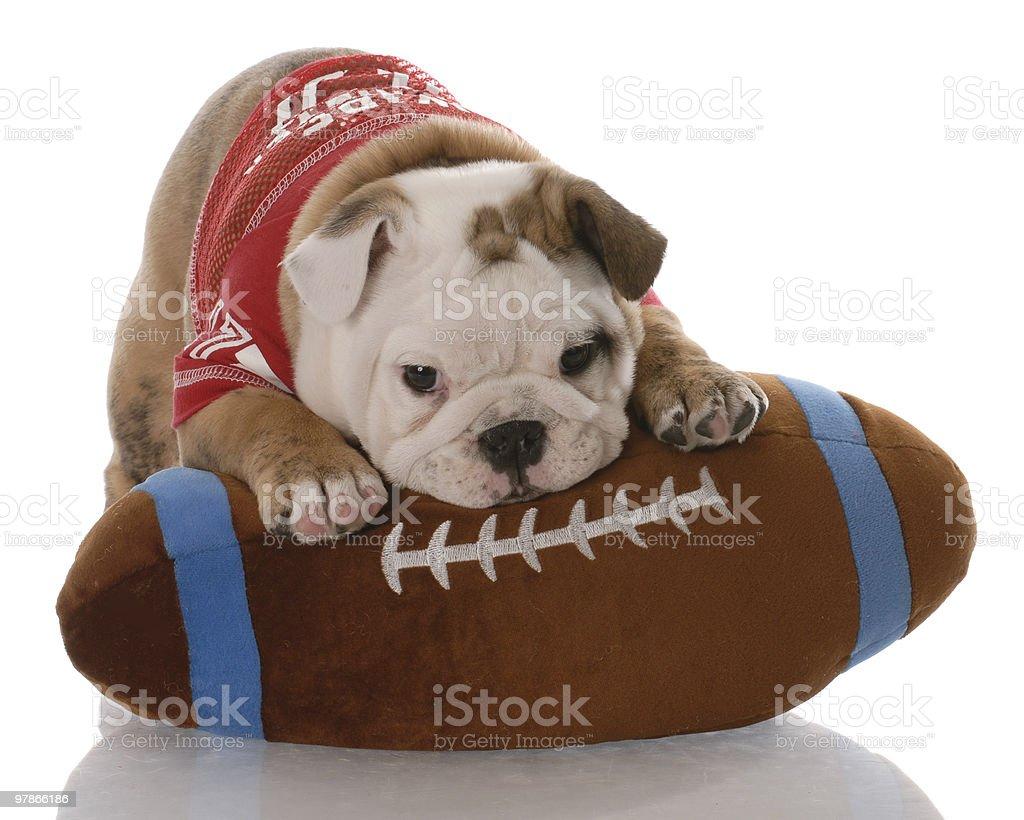 Cool Bulldog Ball Adorable Dog - adorable-bulldog-puppy-cuddling-with-soft-football-plush-toy-picture-id97866186  Trends_70246  .com/photos/adorable-bulldog-puppy-cuddling-with-soft-football-plush-toy-picture-id97866186