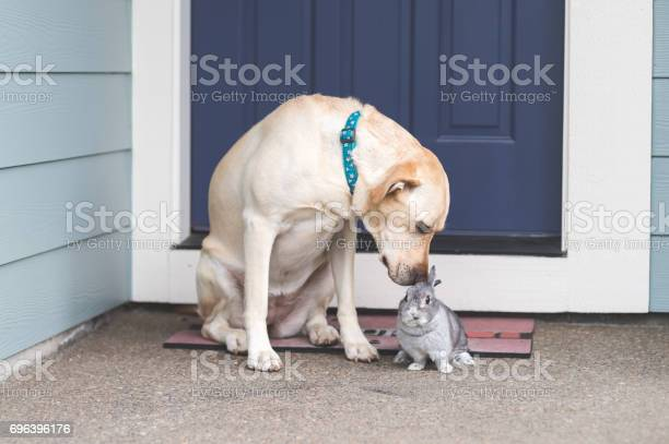 Adorable bunny and mediumsize dog hanging out together on front porch picture id696396176?b=1&k=6&m=696396176&s=612x612&h=tdltvngmpp9kk9ga zrybnsj5qqoh3axd9zf6avxhuo=