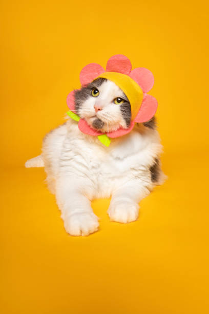 Adorable Cat Dressed in Flower Hat A cute cat wearing a flower and posing on a yellow background. sdominick stock pictures, royalty-free photos & images
