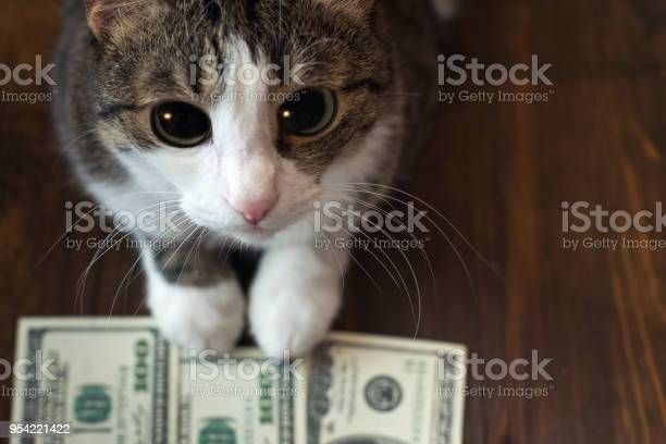 Adorable cat holds dollar banknotes with her paws and looks into the picture id954221422?b=1&k=6&m=954221422&s=612x612&h=uirv7oatnvpjtfcxcqqzszraoz 4urgvmlpocja06vu=