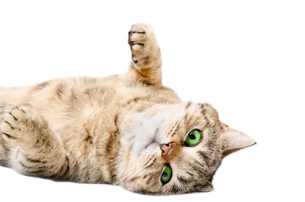 Adorable cat scottish straight lying on his back picture id926092398?b=1&k=6&m=926092398&s=612x612&w=0&h=imn7n  jm6ozdx wfzysmlpudho5c ltoeiijzh44xk=