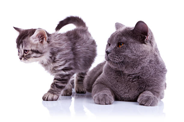 Adorable cats on white background picture id135083456?b=1&k=6&m=135083456&s=612x612&w=0&h=w sirb3zf5y vr5i3qihfmu bsihvh7ol3ozj 1ljbg=