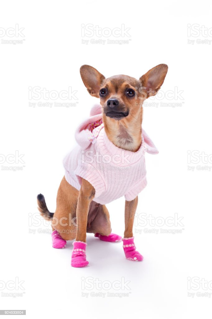 Best Chihuahua Canine Adorable Dog - adorable-chihuahua-in-pink-clothes-picture-id924533504  Graphic_584852  .com/photos/adorable-chihuahua-in-pink-clothes-picture-id924533504