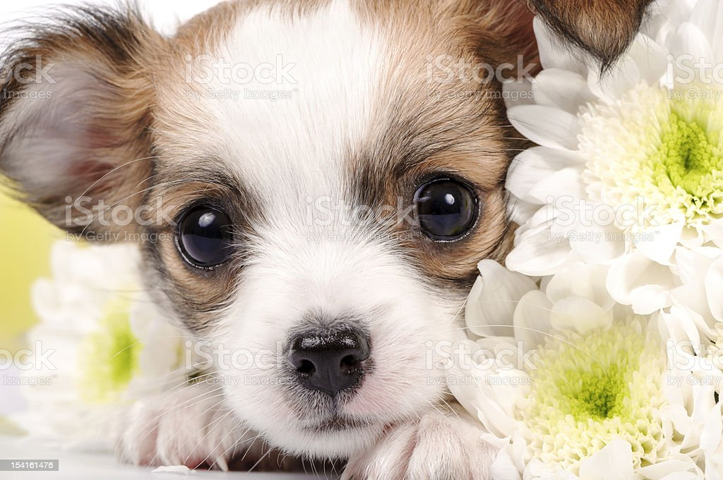 adorable Chihuahua puppy close-up royalty-free stock photo