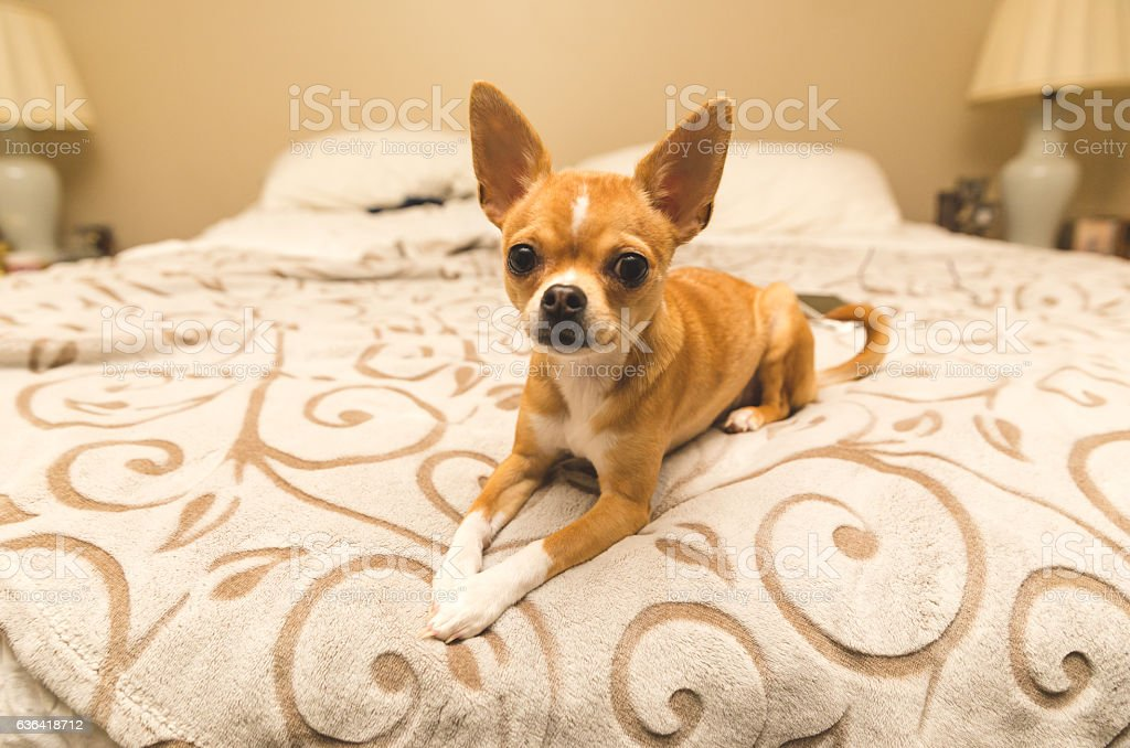 Adorable chihuahua puppy sitting on comfy bed stock photo