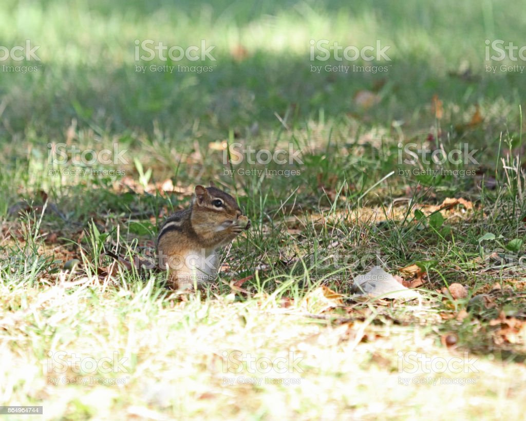Adorable chipmunk foraging stock photo