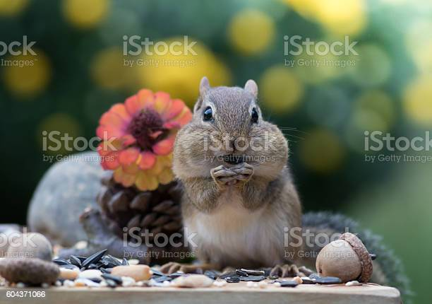 Photo of Adorable Chipmunk stands up and faces front
