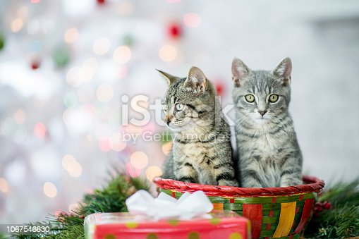 Two tabby kittens sit in a red Christmas basket. Around them are green fir branches, and a wrapped present with a bow. In the background there is a white Christmas tree with lights.