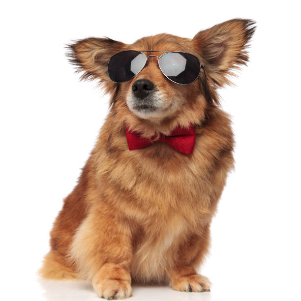 Adorable classy brown dog with sunglasses is distracted picture id956329904?b=1&k=6&m=956329904&s=612x612&w=0&h=s0kojk fuyq mlb6sqb ii19ka7phoqr21aohsr gxe=