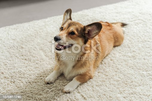 adorable corgi puppy lying on carpet and looking up