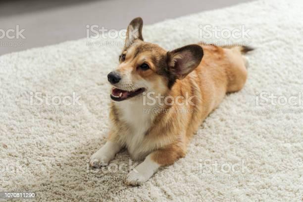 Adorable corgi puppy lying on carpet and looking up picture id1070811290?b=1&k=6&m=1070811290&s=612x612&h=v itp1hj pperbxpj1kgtmon8cbgsylwqkmaxqwslim=