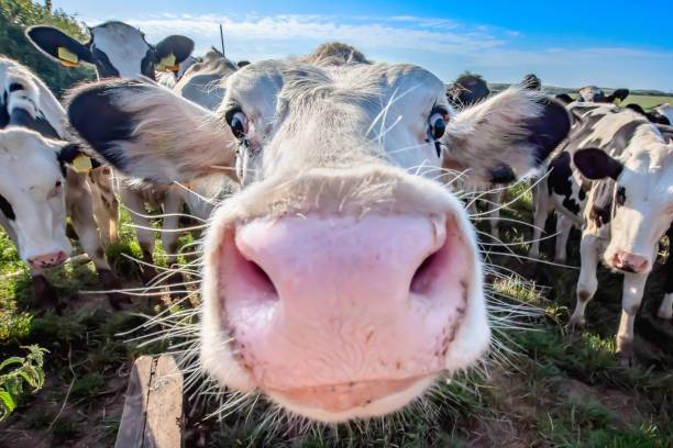 schattige koe op veld kijken met interesse in camera. - groothoek stockfoto's en -beelden