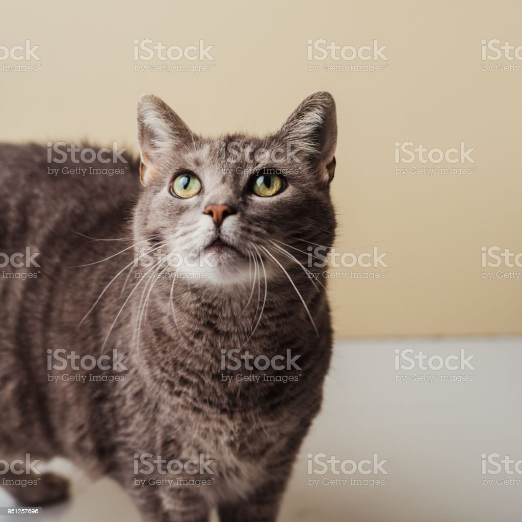 Adorable curious pet cat at home stock photo