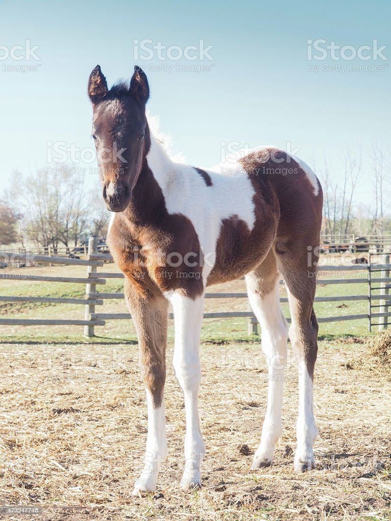 Adorable Cute Baby Horse Pinto Filly Colt Stock Photo Download Image Now Istock