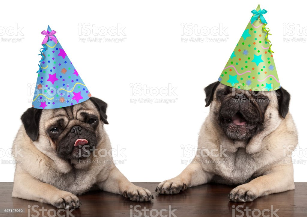 Adorable Cute Pug Dog Puppies Singing And Wearing Birthday Hat