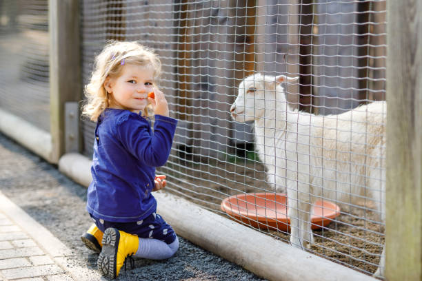 Adorable cute toddler girl feeding little goats and sheeps on a kids farm. Beautiful baby child petting animals in the zoo. Excited and happy girl on family weekend. stock photo