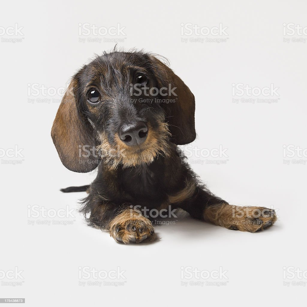 Adorable dachshund puppy royalty-free stock photo