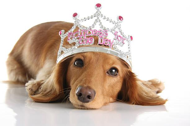 dackel princess - prinzessin tiara stock-fotos und bilder