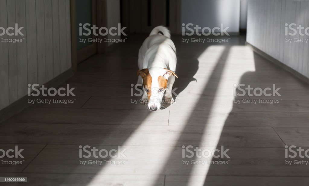 Adorable jack russell terrier dog attentively sniffing the floor in...