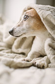 istock Adorable dog comfortable covered with blanket looking to the window. Dreamy Jack Russell terrier nostalgia look. 1132975021