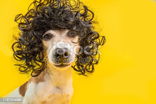 adorable dog Jack Russell terrier face in black afro style wig. Bright party mood. Yellow background