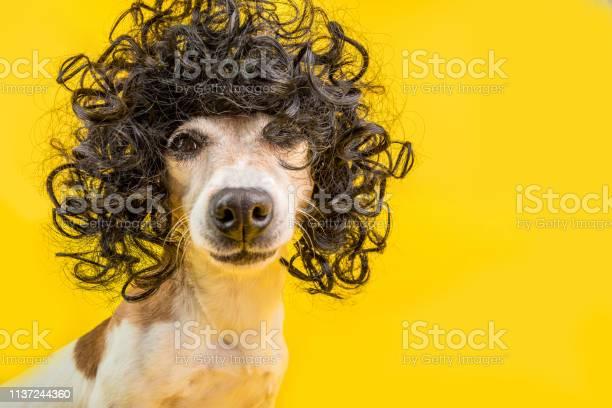 Adorable dog face in black afro style wig bright party mood yellow picture id1137244360?b=1&k=6&m=1137244360&s=612x612&h=iagjtzfml pubzung xdjnjvs lpznk9dzzvi2qpidq=