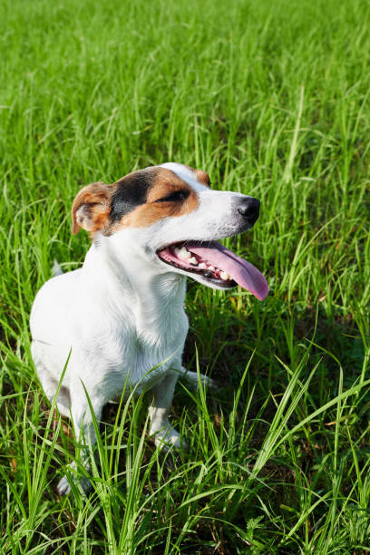 Adorable dog heavily breathing on grass stock photo
