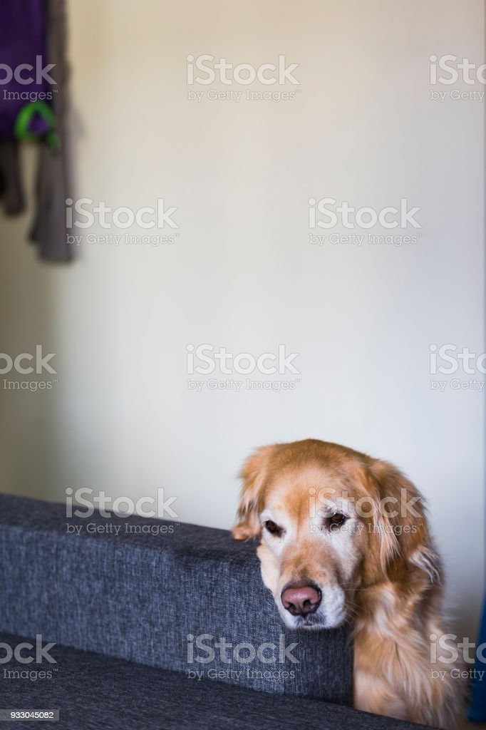 Adorable dog is thinking on the sofa stock photo