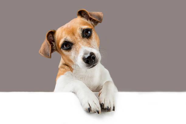 niedlichen hund jack russell terrier - coole liebessprüche stock-fotos und bilder