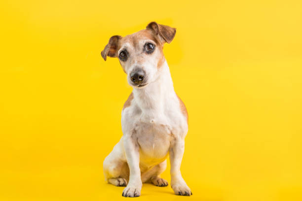 Adorable dog portrait in full lenght on yellow background picture id1135995884?b=1&k=6&m=1135995884&s=612x612&w=0&h=97fgelkiwwmpsabrckj2z1ij1dtu4bdrn9zjibahjne=