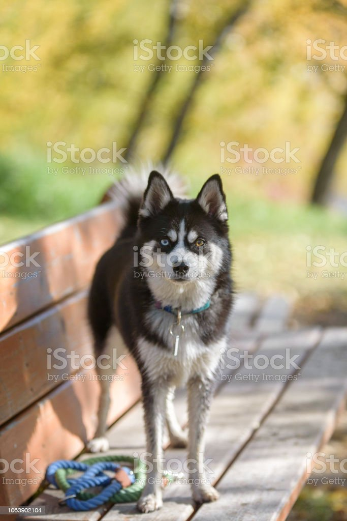 Adorable dog posing on a park bench in the sunlight with collar and leash on stock photo
