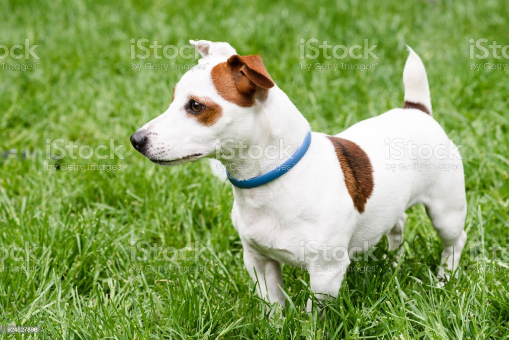 Adorable dog with anti mite and flea collar (side view) stock photo