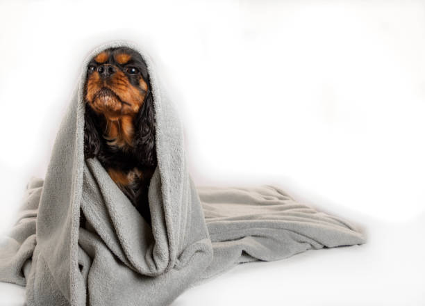 Adorable dog wrapped in a blanket. Isolated on white background. Cavalier King Charles Spaniel. stock photo