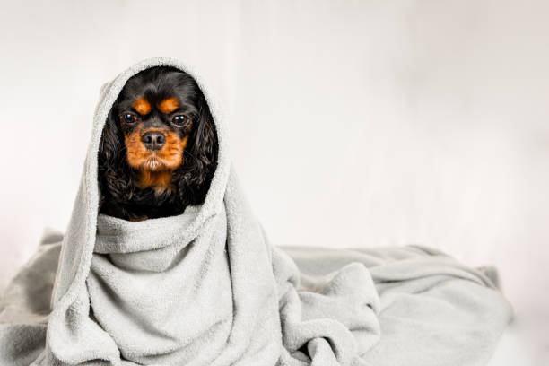 Adorable dog wrapped in a blanket. Isolated on white background. Adorable dog wrapped in a blanket. Isolated on white background. Cavalier King Charles Spaniel. wrapped in a blanket stock pictures, royalty-free photos & images