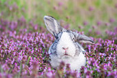 Adorable dutch rabbit outside, bunny sitting in a purple flowers