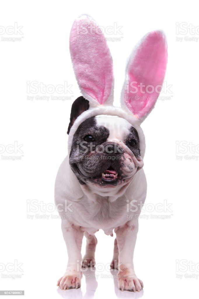 Wonderful Bulldog Canine Adorable Dog - adorable-easter-bunny-french-bulldog-picture-id924798682  Image_229743  .com/photos/adorable-easter-bunny-french-bulldog-picture-id924798682